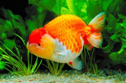 金魚の起源